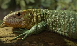 Article: Some Lizards Have Green Blood — and It Might Protect Them From Malaria