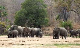 Article: Major Elephant Refuge Goes Entire Year Without a Single Poaching