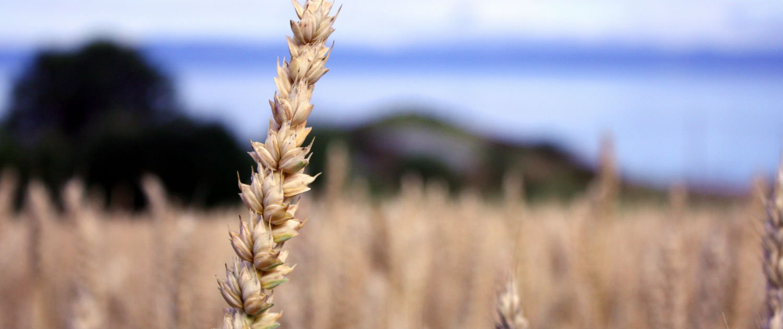 GMO hero-wheat edited.jpg