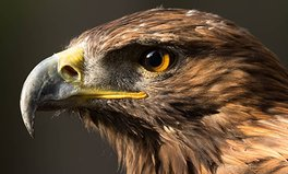 Article: Baby Golden Eagles Released in Scotland to Save Dwindling Population