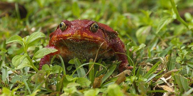 tomato frog.jpg
