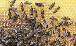 Artikel: Bienensterben was du tun kannst