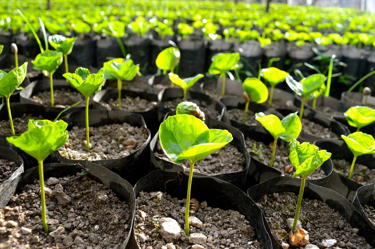 Young Coffee Plants.JPG