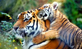 Article: World tiger population increases by over 20 percent!