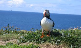 Article: Britain's Puffins Could Go the Way of the Dodo in Just 50 Years, Warns National Trust