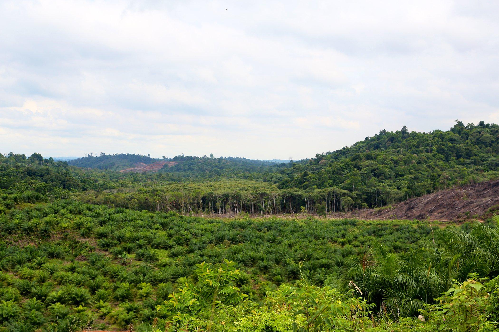 Palm-Oil-Explainer-Environmental-Impact.jpg