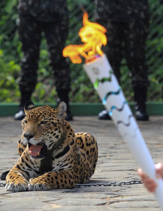 jaguar-killed-rio-olympic-torch