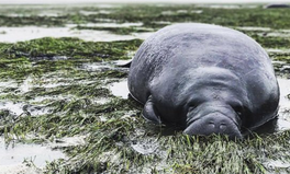 Article: Hurricane Irma Left 2 Manatees Stranded. Then 5 Floridians Came to the Rescue