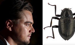 Article: Why This Beetle Was Named After Leonardo DiCaprio