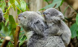 Article: Dozens of Koalas Found 'Massacred' After Their Habitat Was Destroyed by Bulldozers