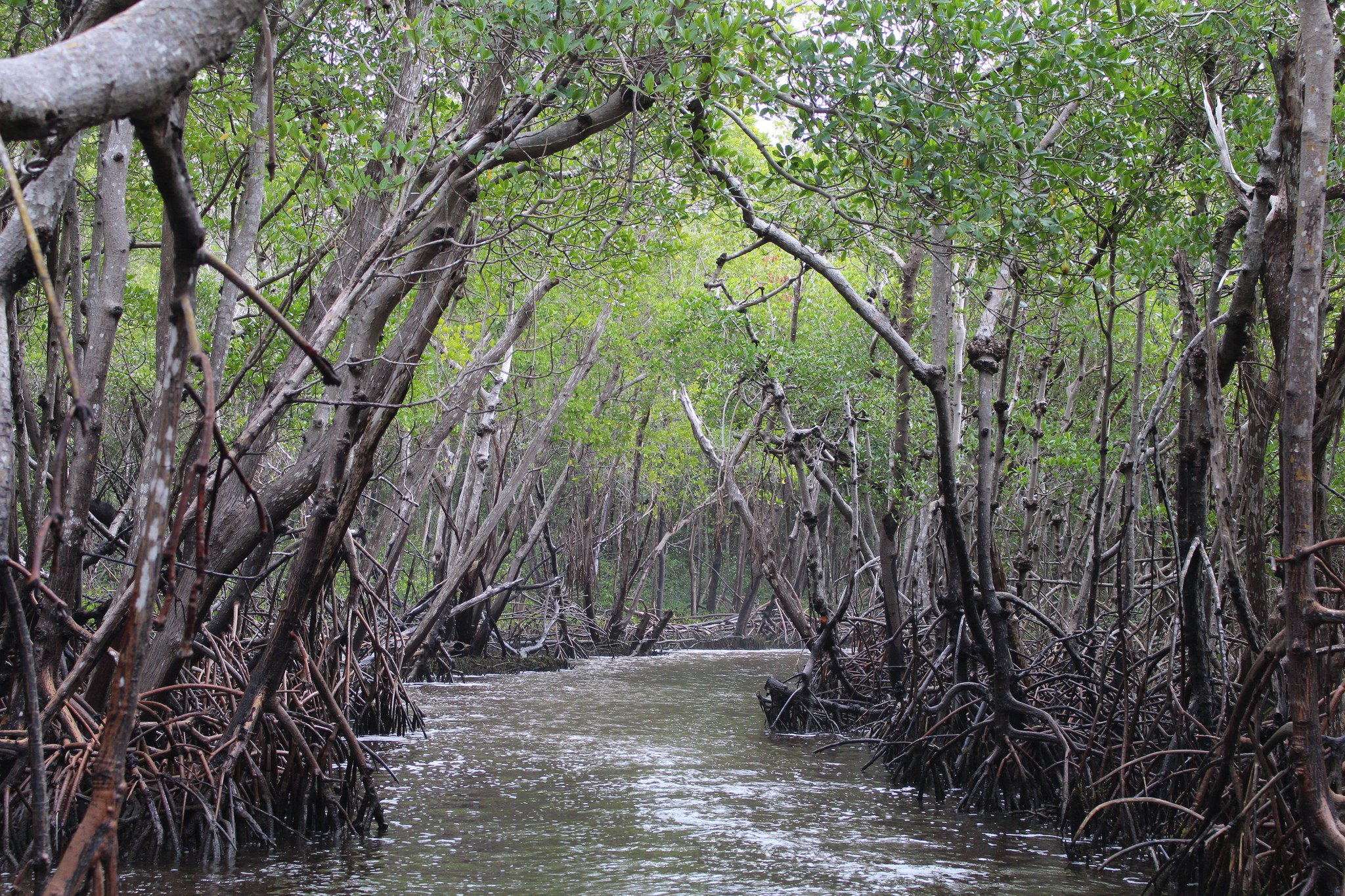 Mangroves in the Everglades.jpg