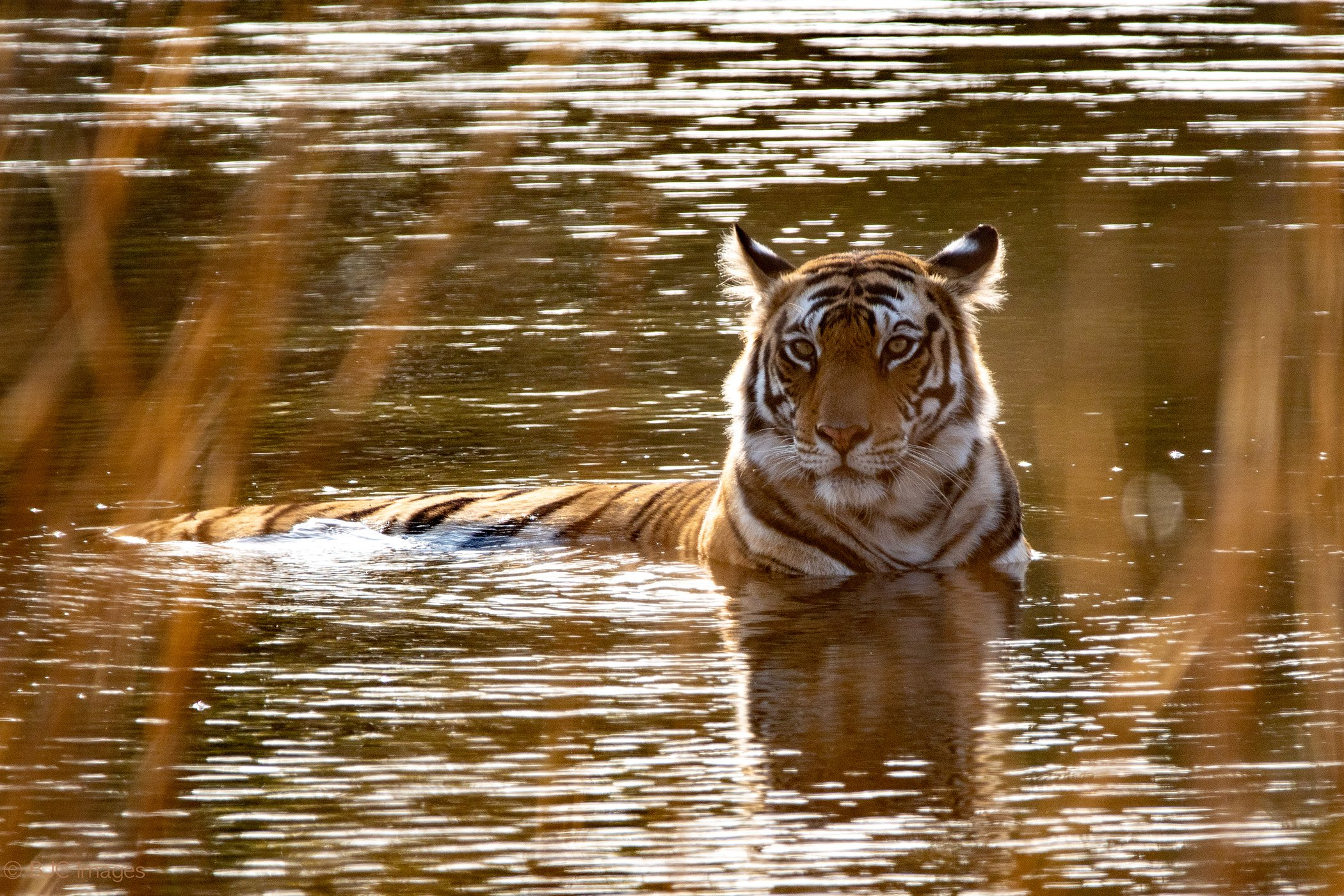 Bengal-Tigers-India-Climate-Change.jpg