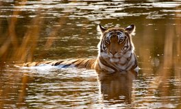 Artikel: Bengal Tigers Could Be Wiped Out by 2070