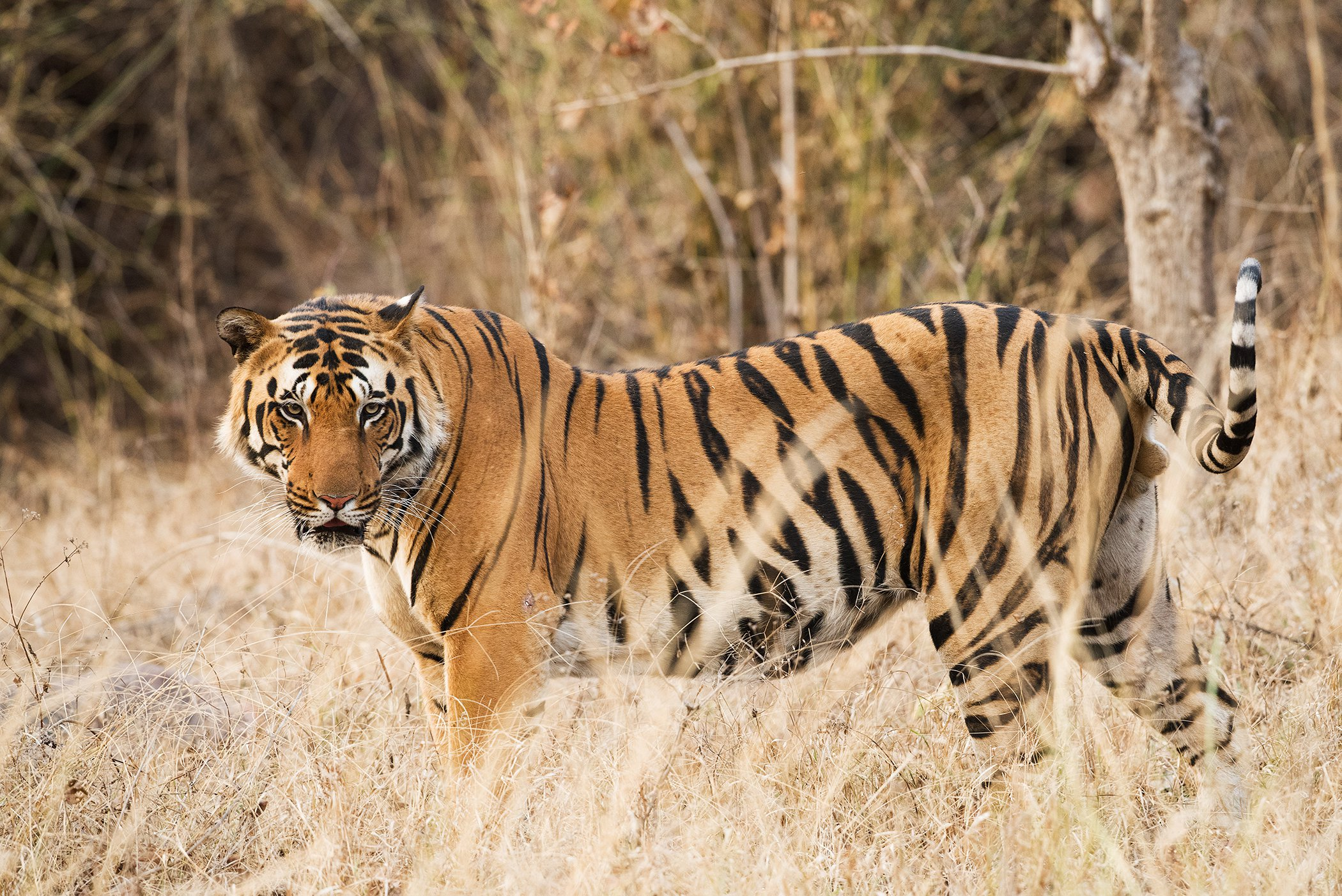 World-Wildlife-Day-Big-Cats-2.jpg