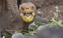 Article: This Galapagos Tortoise Single-Handedly Saved His Species
