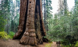 Article: An Ancient Forest of Giant Sequoia Trees Was Just Saved Thanks to a Nonprofit in California