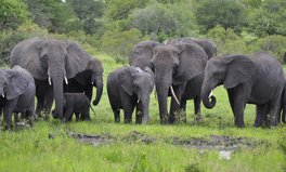 Artikel: 87 Elephants Slaughtered in Botswana in 'Largest' Poaching Incident in History