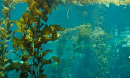 Article: A 'Perfect Storm' of Climate Change Is Destroying California's Underwater Kelp Forests