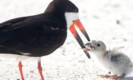 Artículo: Bird Feeds Its Chick Cigarette Butt in 'Heartbreaking' Viral Photo