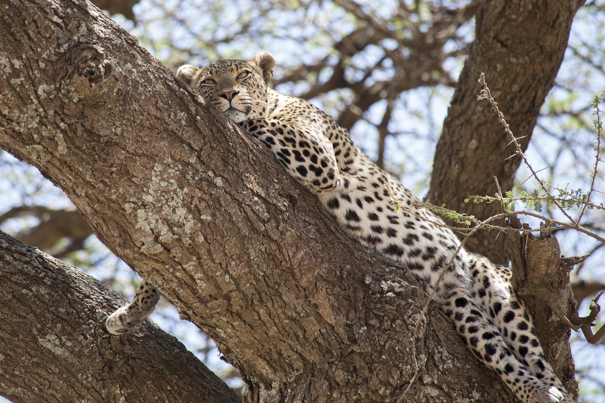 Leopard-Africa-Dani-Selby.jpg