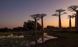 Artículo: Africa's Most Ancient Trees Are Dying Due to Climate Change