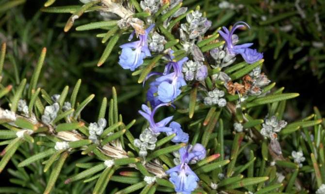 Rosemary traditional remedies.jpg