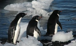 Article: Thousands of Penguins Die in Antarctica Prompting a Call for Marine Protection