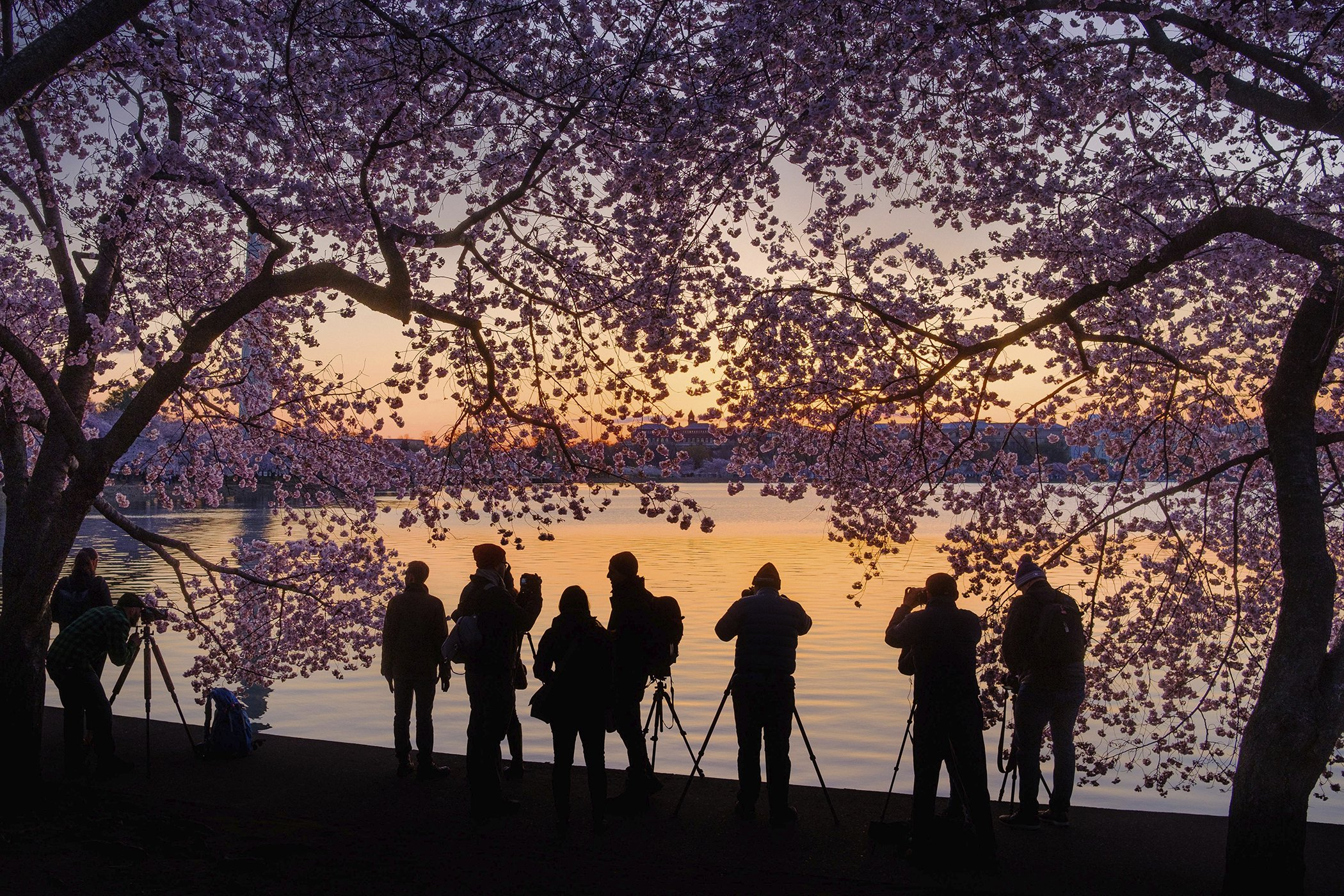 Spring-Cherry-Blossoms-Washington.jpg