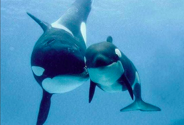 Starving, Diseased, Battered by Noise — This Orca Population