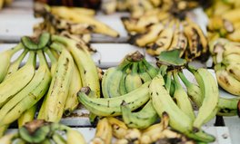 Artículo: A Deadly Banana Fungus Is Spreading Because of Climate Change
