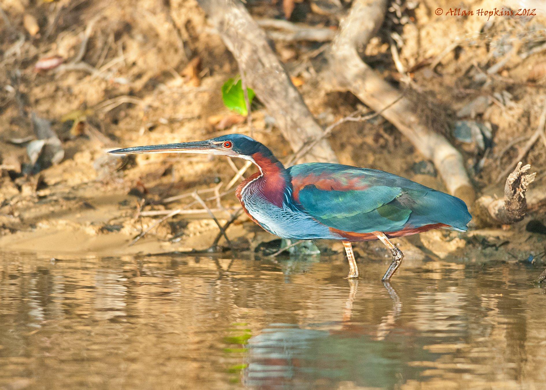 guyana-bird.jpg