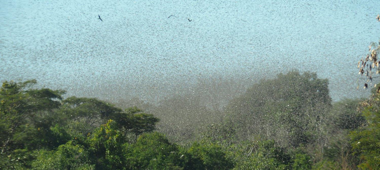 Heuschreckenschwarm bedroht Ernährungssicherheit in Kenia