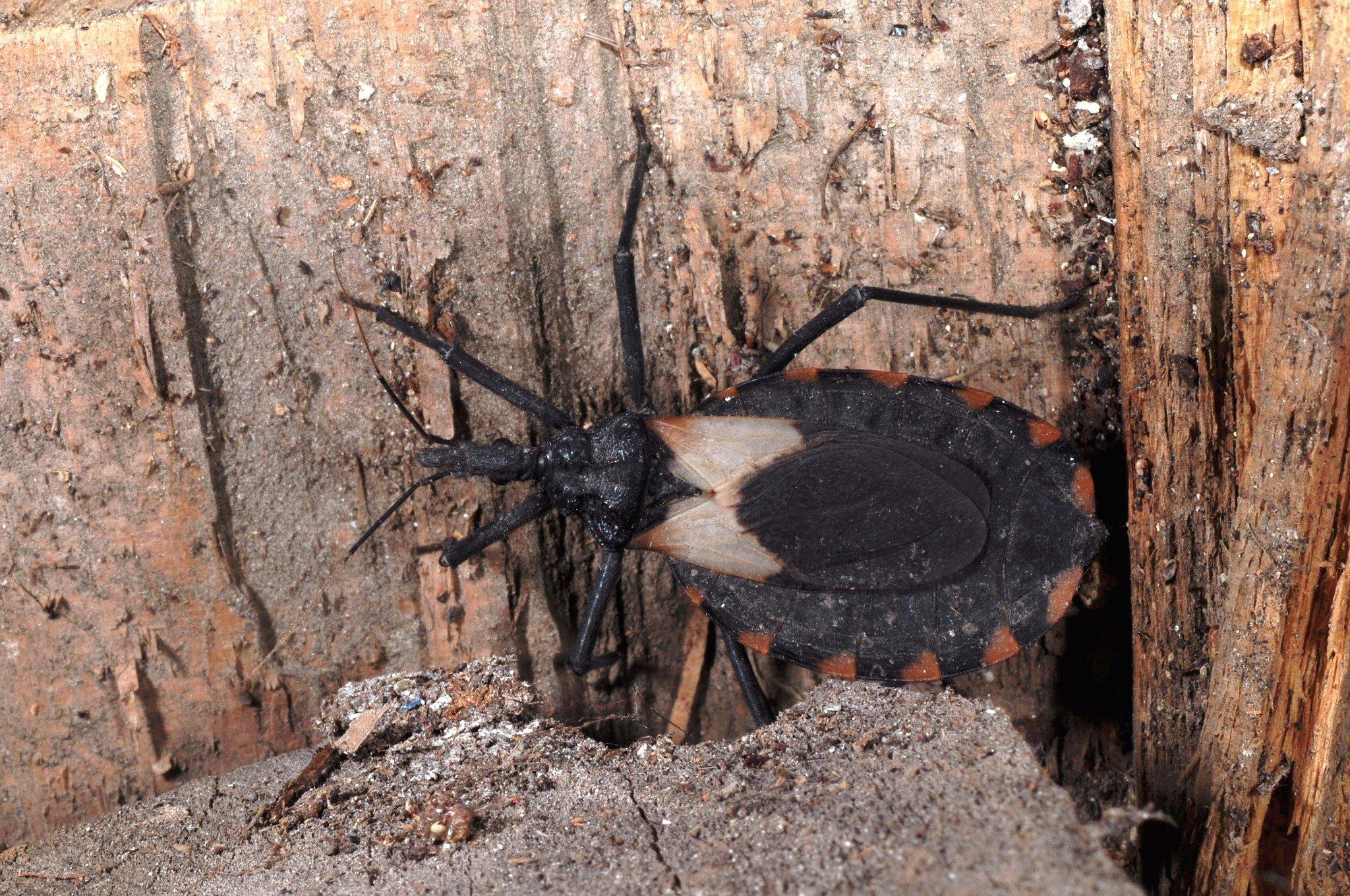 the kissing bug chagas