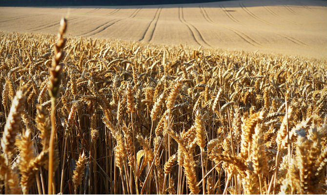 Field of wheat.jpg