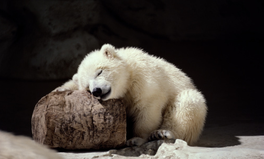 Article: 15 Adorable Pictures of Polar Bears to Remind You That the Ice Caps Are Melting