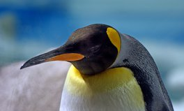 Article: 90% of World's Largest King Penguin Population Has Vanished