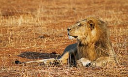 Artikel: 200 lions in Ethiopia rediscovered!