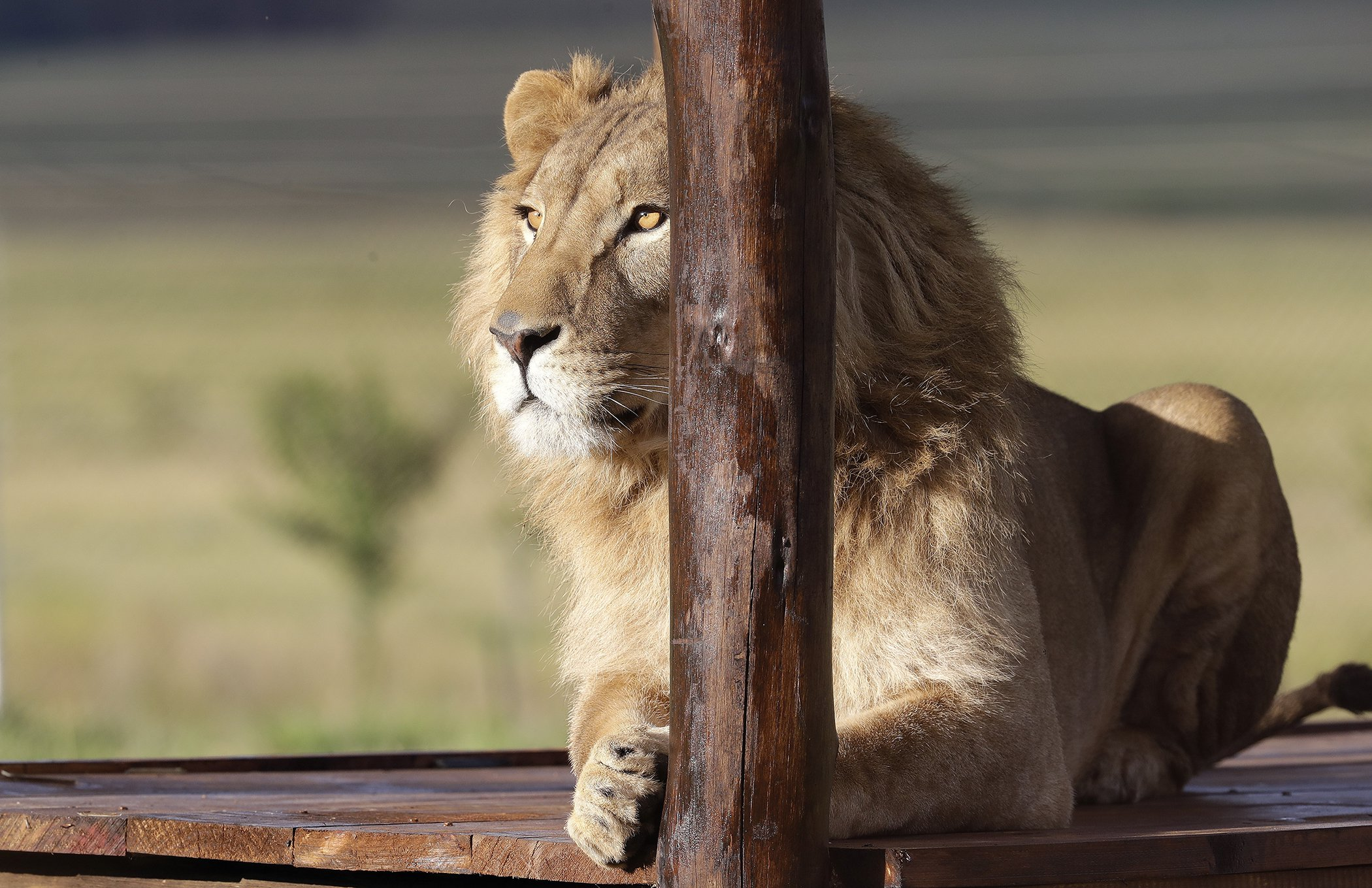 Rescued-Lions-Environmental-Photos-February.jpg