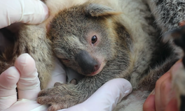 Article: The First Koala Has Been Born in a Wildlife Park Since The Devastating Australian Bushfires