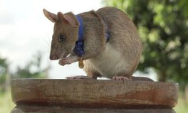 Artikel: Hero Rat Awarded UK's Highest Medal for 'Lifesaving Bravery' Sniffing Out Landmines