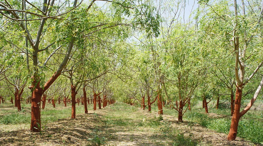 Meet Moringa: the superfood tree that loves drought