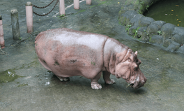 Article: The Oldest Captive Hippo, Queen Bertha, Dies at 65