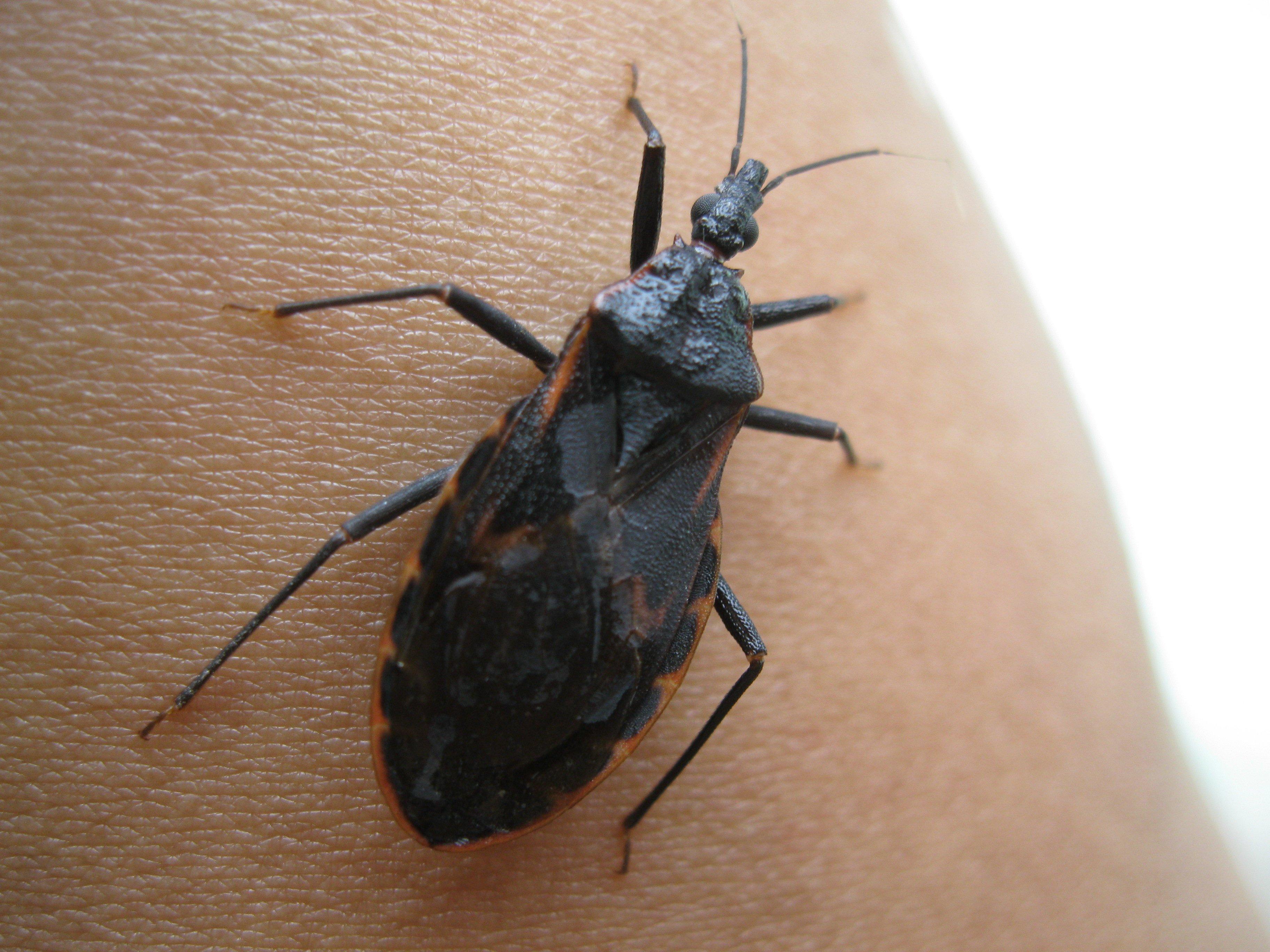 chagas the kissing bug