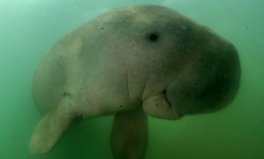Article: Thailand's Beloved Baby Dugong Dies After Eating Plastic