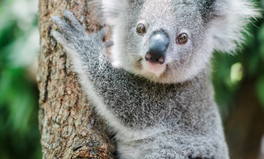 Feature: Australians Are Turning Their Backyards Into Koala Sanctuaries