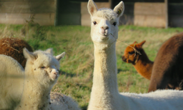 Artículo: Llamas Could Hold the Key to Preventing All Strains of the Flu