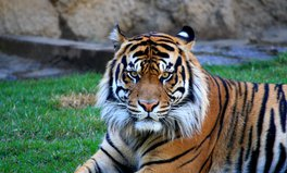 Article: The UK Will Use Aid Money to Support Sumatran Tigers and Other Endangered Animals