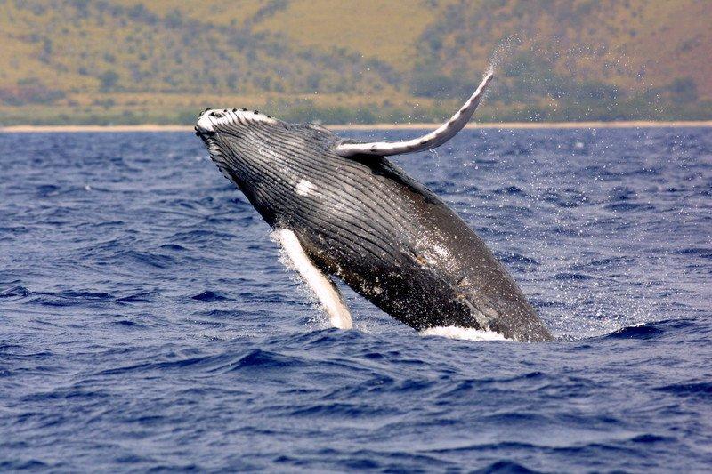 humpback-whale-NOAA.jpg
