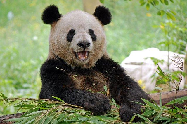 panda smiling