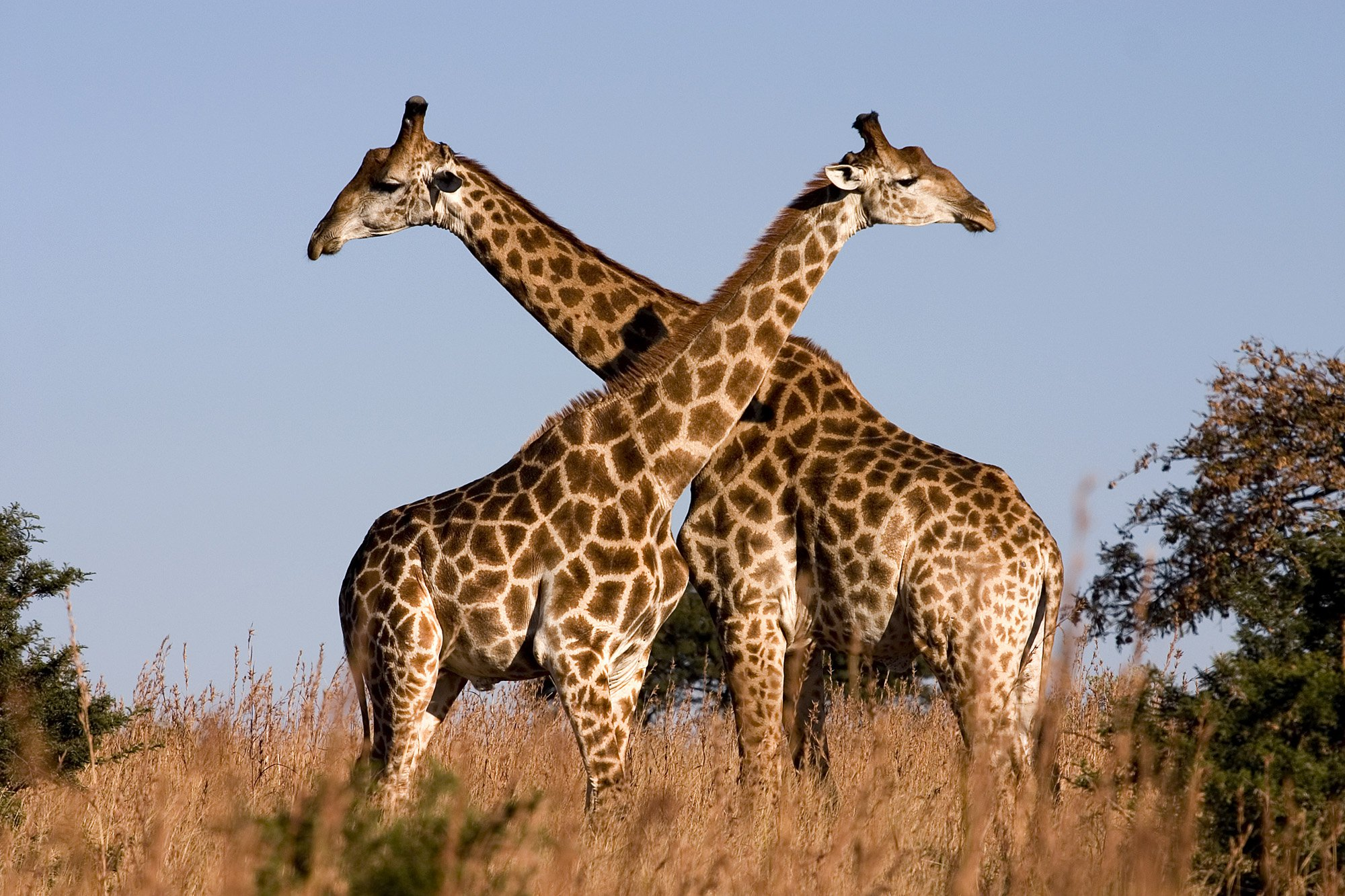Two giraffes with spots